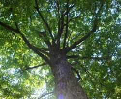 leafy tree viewed from ground